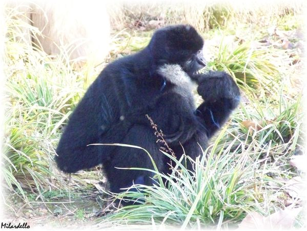 gibbon-a-favoris-blancs-male--2--le-roman-du-gibbon.jpg