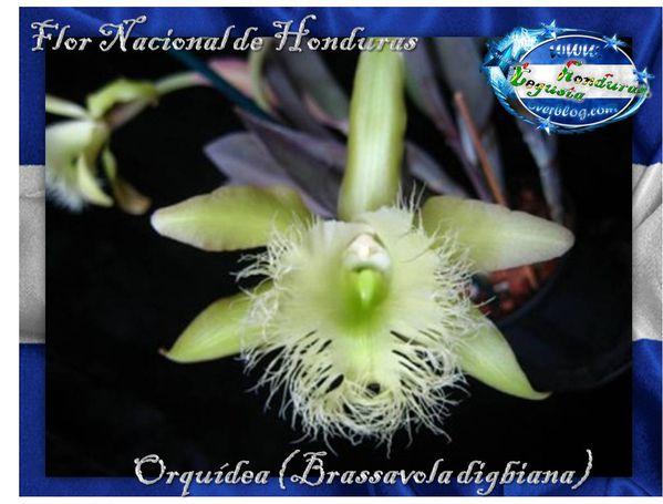 Conexion-HN-Flor-Nacioal-Honduras-orquidia--2-.jpg