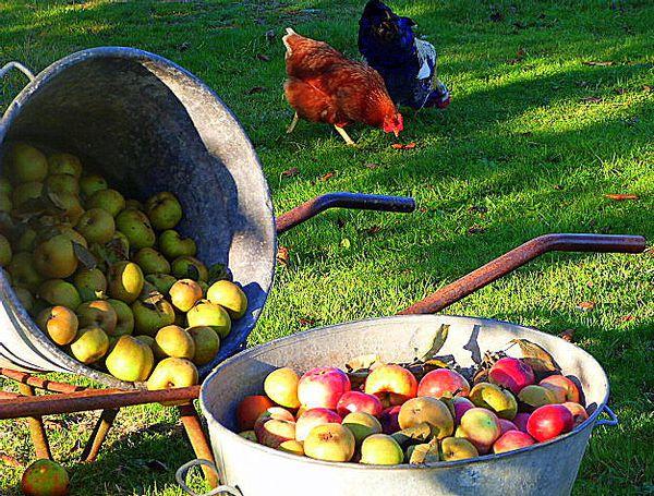 pommes-et-poules-a-la-ferme-de-kerscuntec.jpg