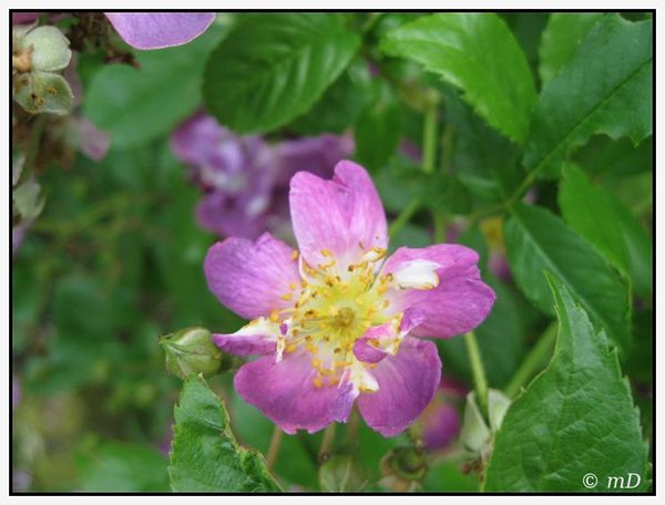 Rose Magenta 3 TX