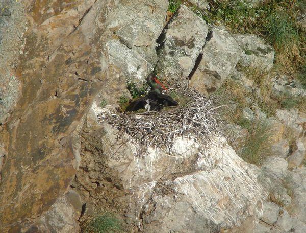 cigogne noire nid