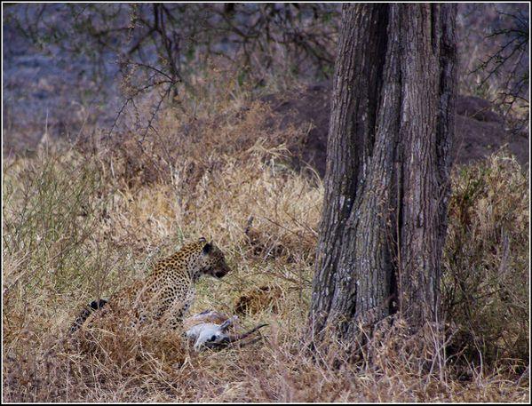 leopard et sa proie dans le serengeti