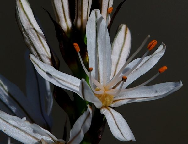 asphodele-detail-fleur.jpg