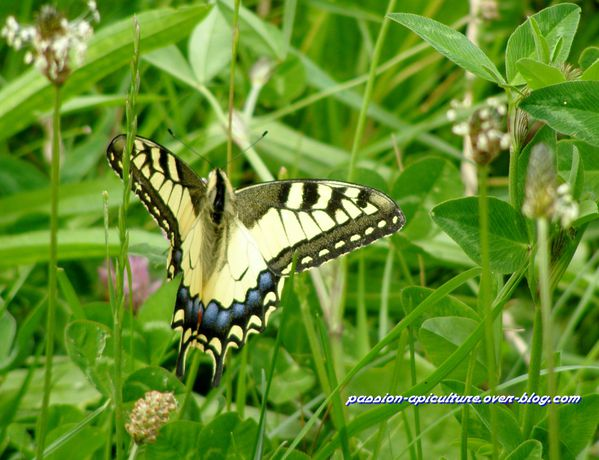 Machaon (1)