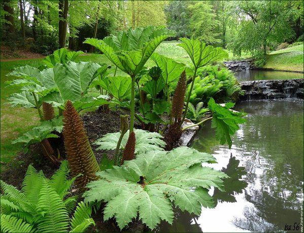 NATURE(S) - Plantes extraordinaires - Gunnera manicata (06)