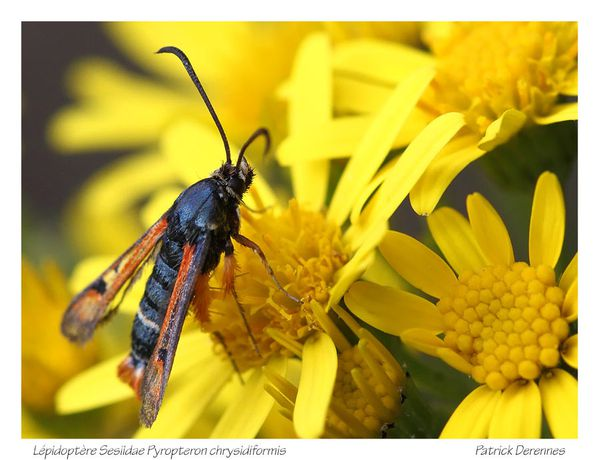 pot-pourri-5-3231Sesiidae130711Bilai.jpg
