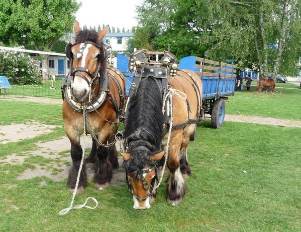 CHEVAUX tracteurs en weppes beaucamps-ligny 111