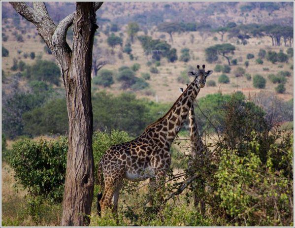 girafe du tarangire