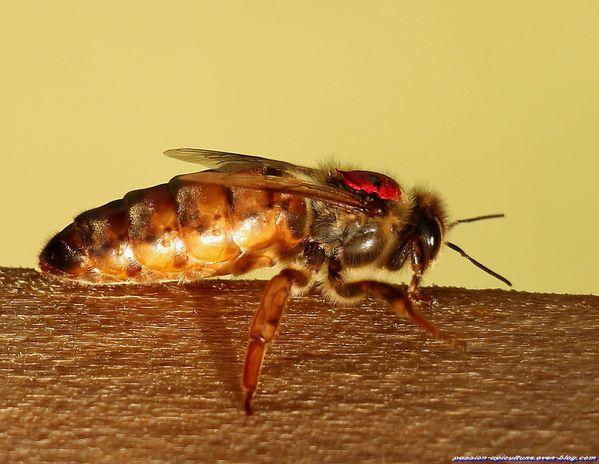 Reine des abeilles (10)