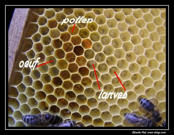 cadre-oeuf--larve--pollen.JPG