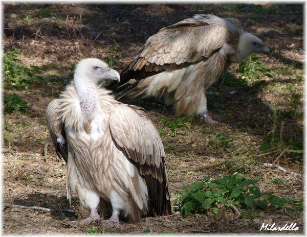 vautour-de-l-himalaya-3.JPG