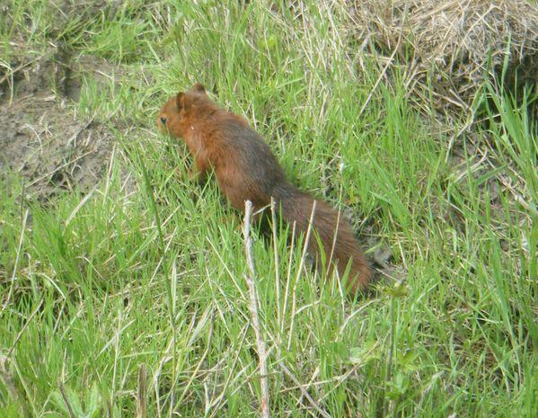 jeune-ecureuil.JPG