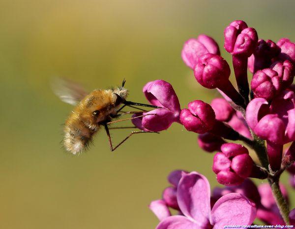Lilas et les insectes (74)
