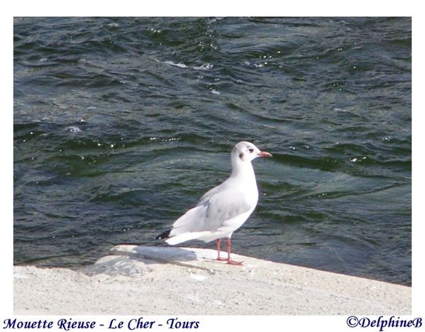 Mouette rieuse 11-08-22