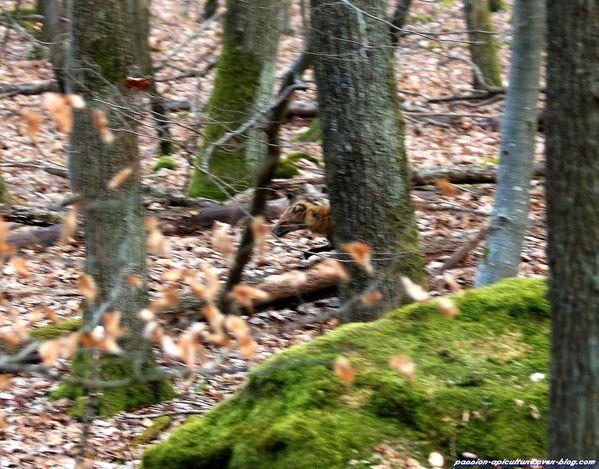 Un renard en mauvais état (4)