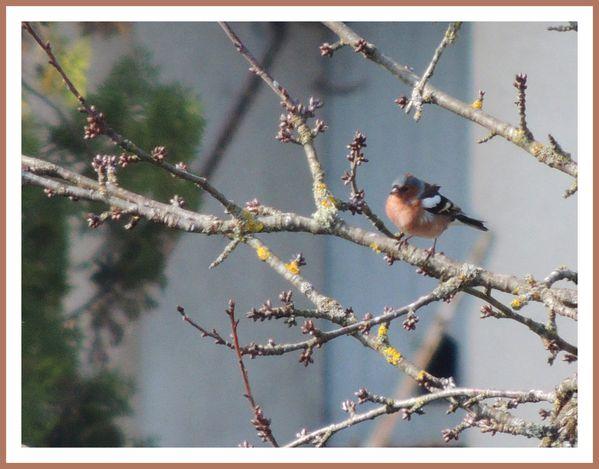 Oiseaux de nos jardins (57)