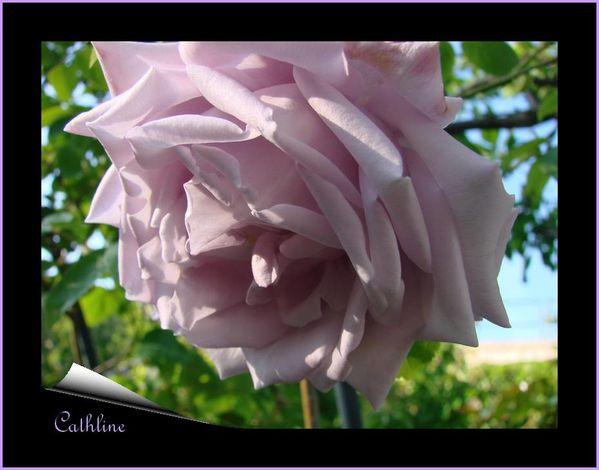 rose-sissi-2.jpg