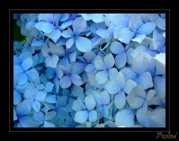 hortensia-bleu.jpg
