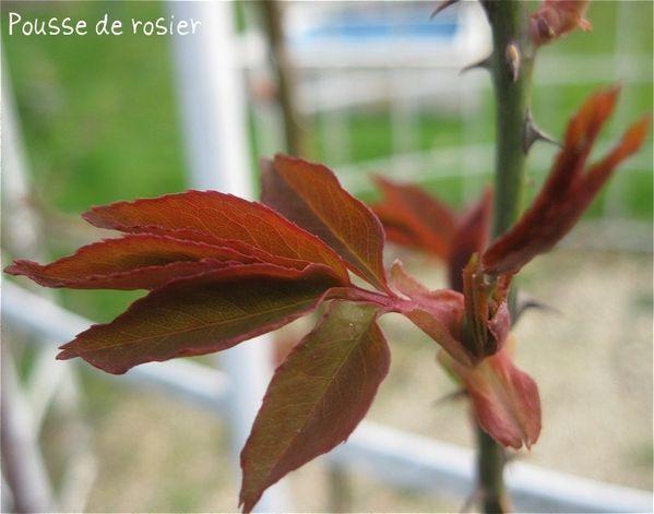 jeune feuille rosier k