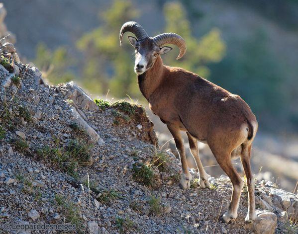 b10-29 6 jeune mouflon 10