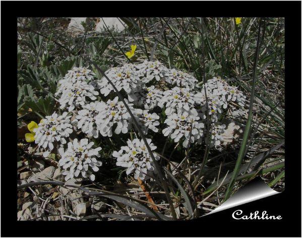 iberis-nain--22-avril-2012--mont-serein-1.jpg