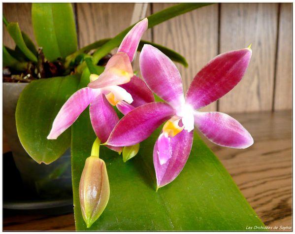 Phalaenopsis Jennifer Palermo