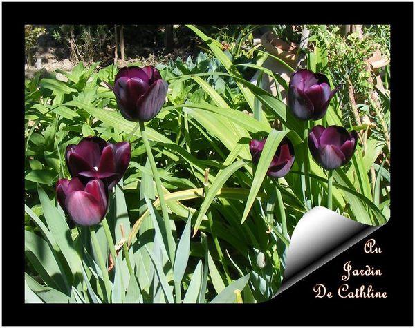 tulipes-noires17-avril-2014--21-.JPG
