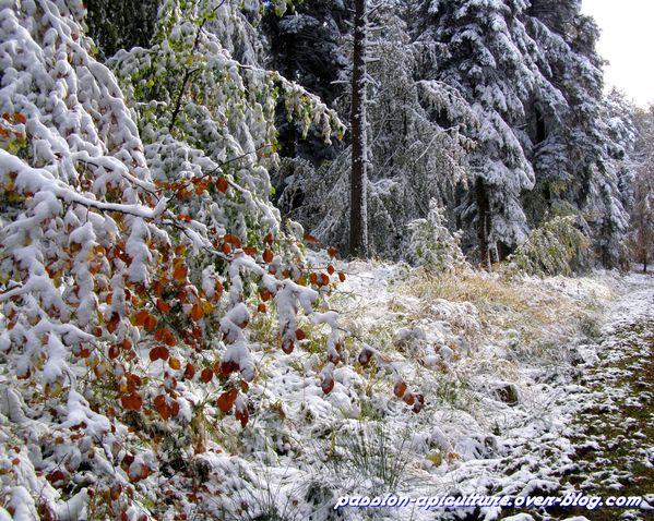Forêt d'automne enneiger (12)