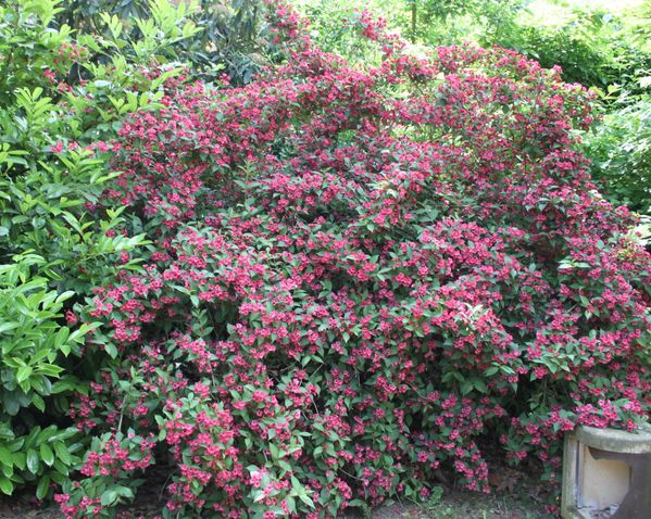 weigelia--bristol-ruby-.jpg