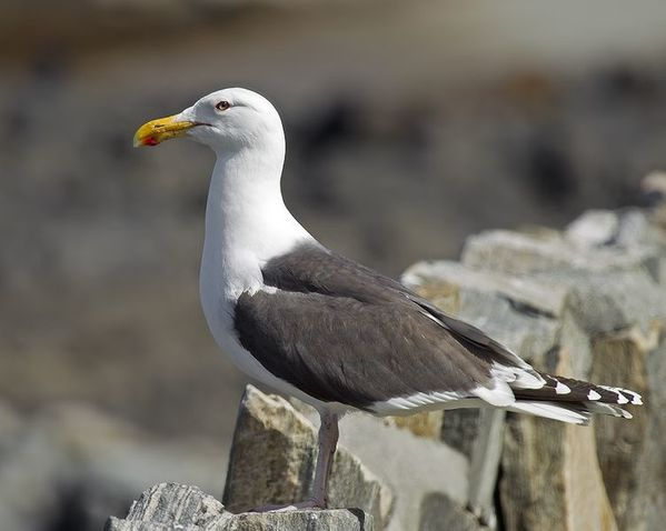 752px-Great_Black-backed_Gull_Larus_marinus.JPG