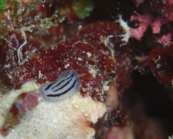 2010-03-14 Phyllidiopsis xishaensis -striata (4)