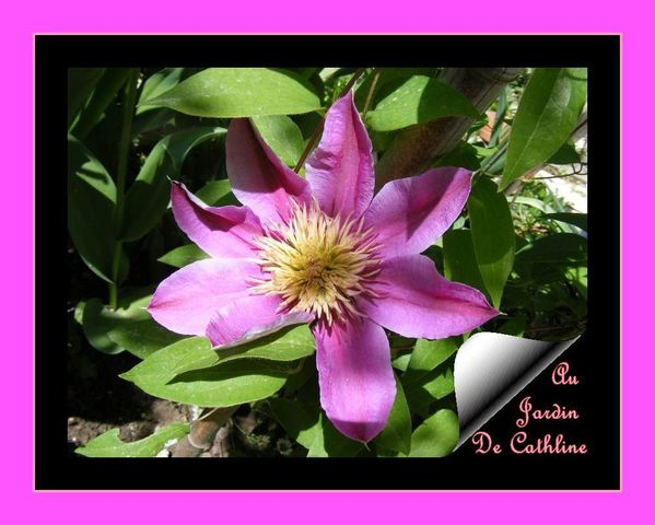 clematite-rose-26-avril-2014---3--copie-1.JPG