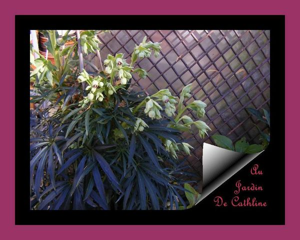 hellebore-fetide-23-decembre-2014---5--copie-1.JPG