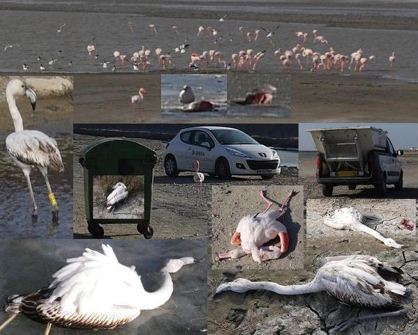 froid flamants roses morts et vivants