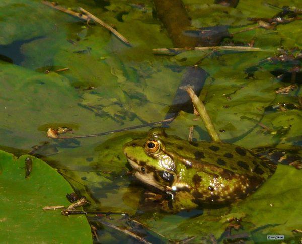 2012-05 grenouille chanteuse (1)