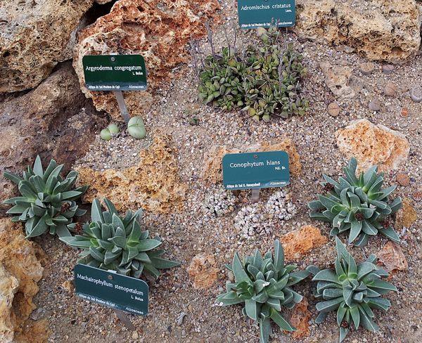 Aizoacées sp. et Adromischus cristatus juillet 12 1