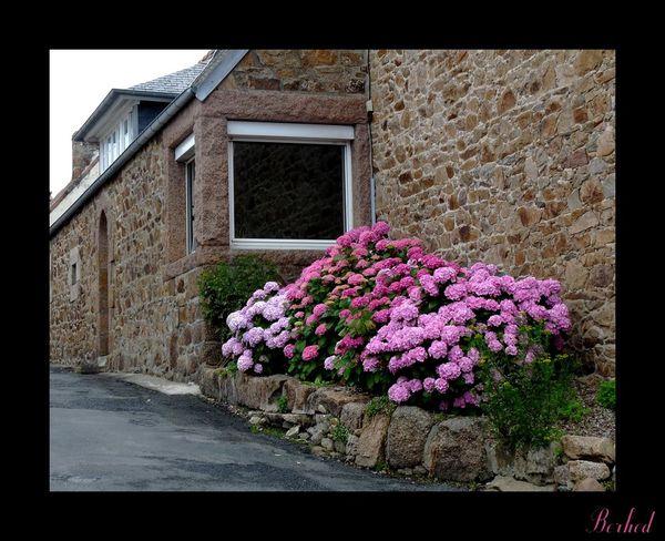 hortensias-roses.jpg