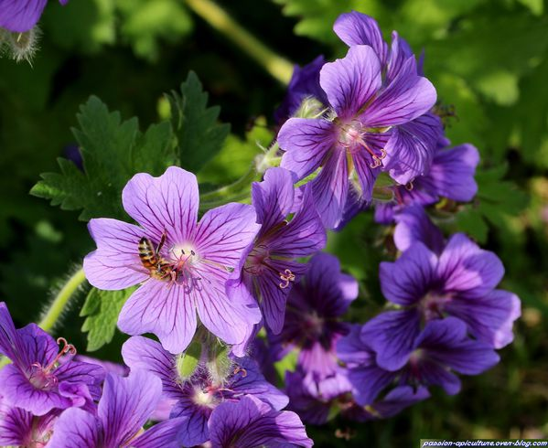 Geranium Dragon Heart (1)