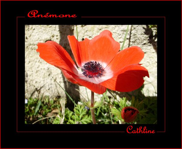 A-comme-anemone.jpg