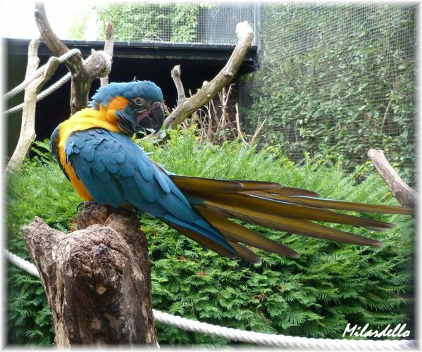 ara-caninde-b3-Blue-throated-Macaw.JPG