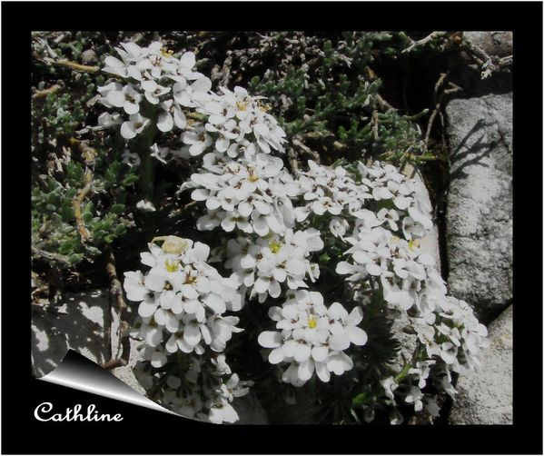 iberis-nain--22-avril-2012--mont-serein-2.jpg