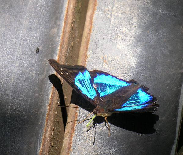 bresil Iguazu Papillon Prepona 2