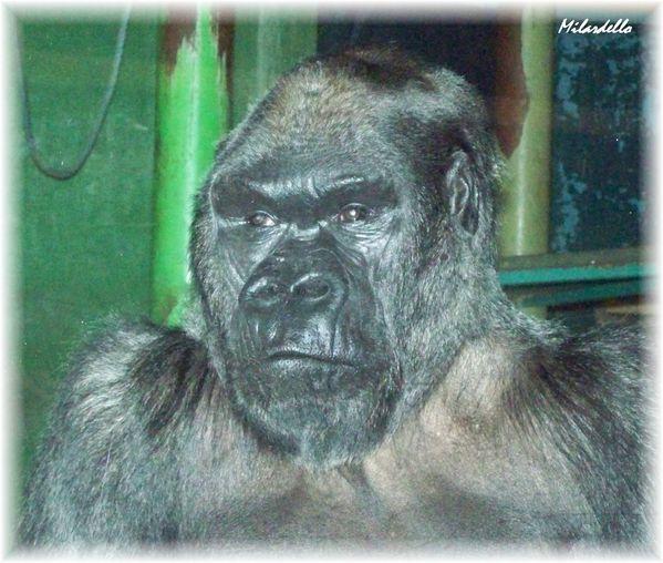 gorille-01.jpg