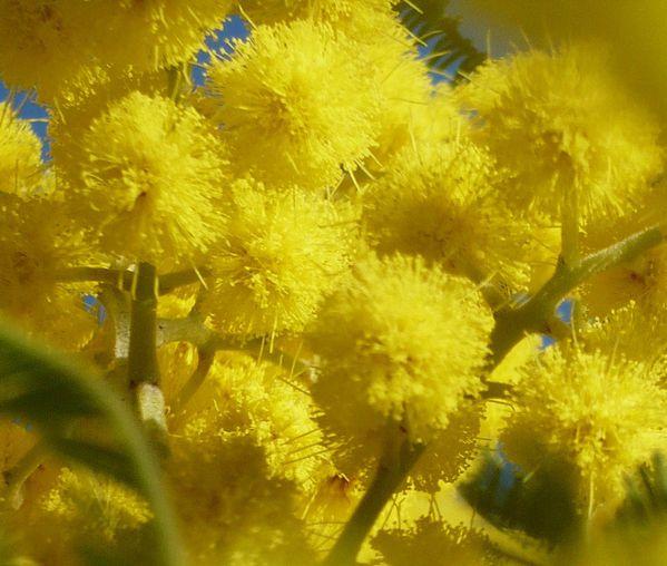 mimosa-de-fevrier-009