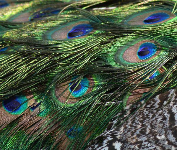 N-7-0428-plumage.jpg