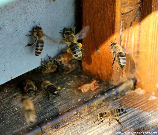 Abeille, pollen, au trou de vol (1)