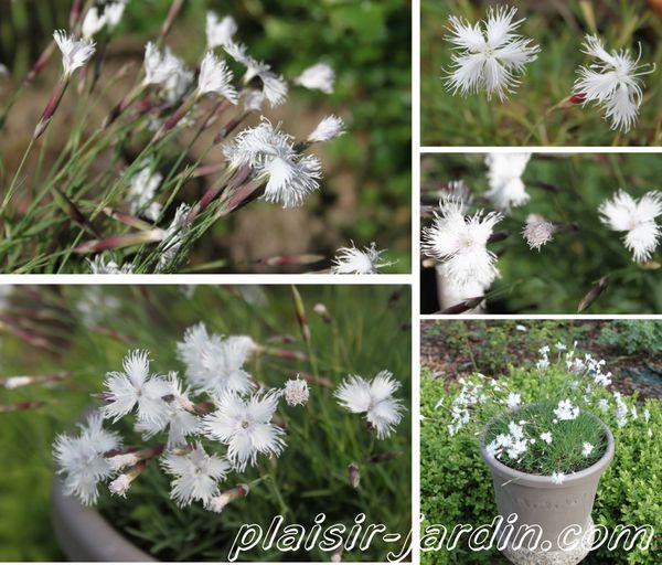 Dianthus-arenarius.jpg