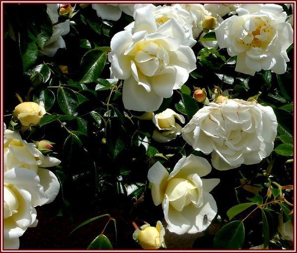 rose-1-DSC06319.jpg