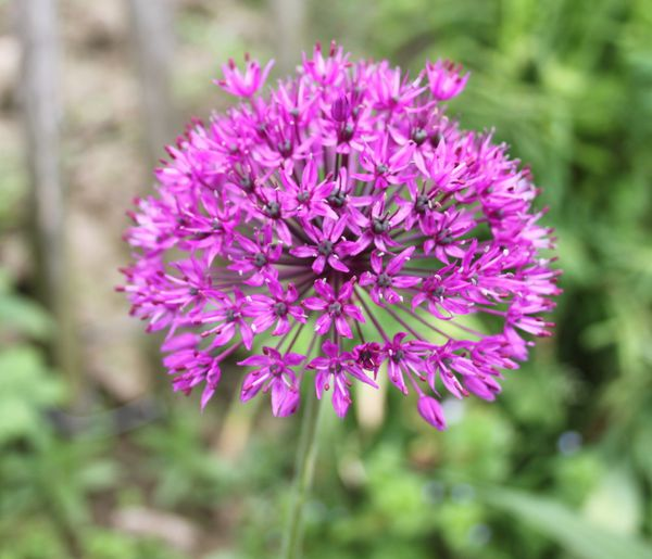 Allium--purple-sensation-.jpg