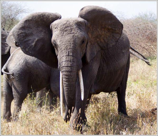 charge des elephants